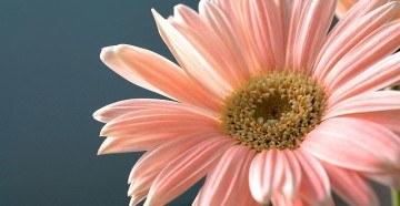 Свадебный цветок гербера