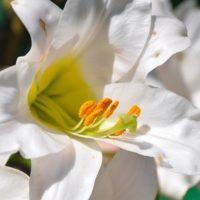 Красивый свадебный букет из лилий: различные варианты с фото