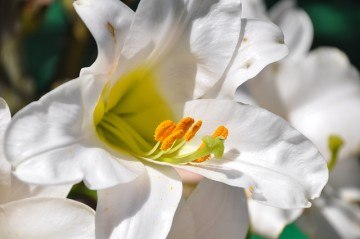 Свадебный букет из лилий – выбор утонченной невесты