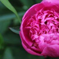 Выбираем красивый букет невесты из пионовидных роз